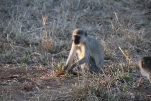 vervet monkey makuleke