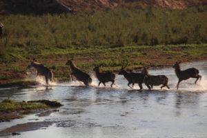 waterbucks makuleke