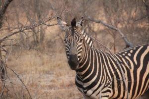 zebra karongwe
