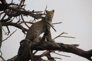 leopard britta safari