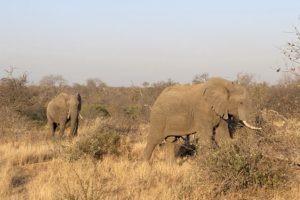 best safari elephants