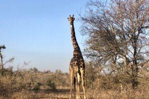 best safari giraffe