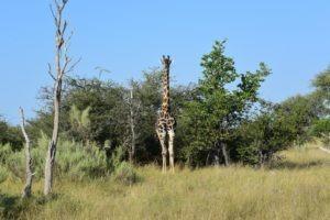 Botswana Kwapa Camp giraffe
