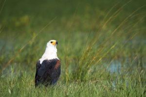 Botswana eagle photo safari chobe