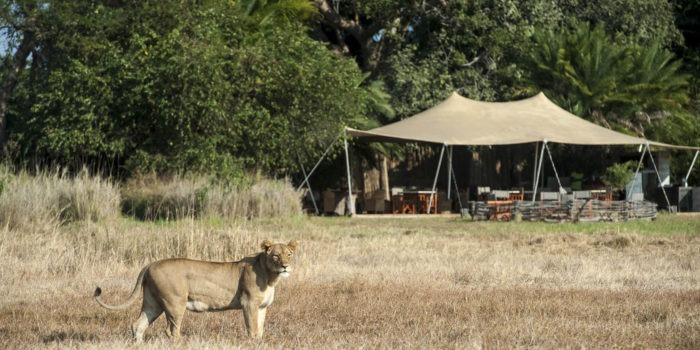 Botswana mobile safari lion in camp
