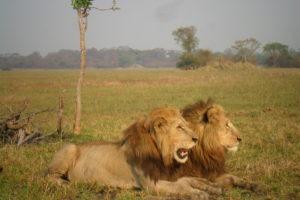 Busanga lion brothers kafue zambia