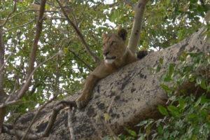 Busangas famous tree climbing lions kafue zambis
