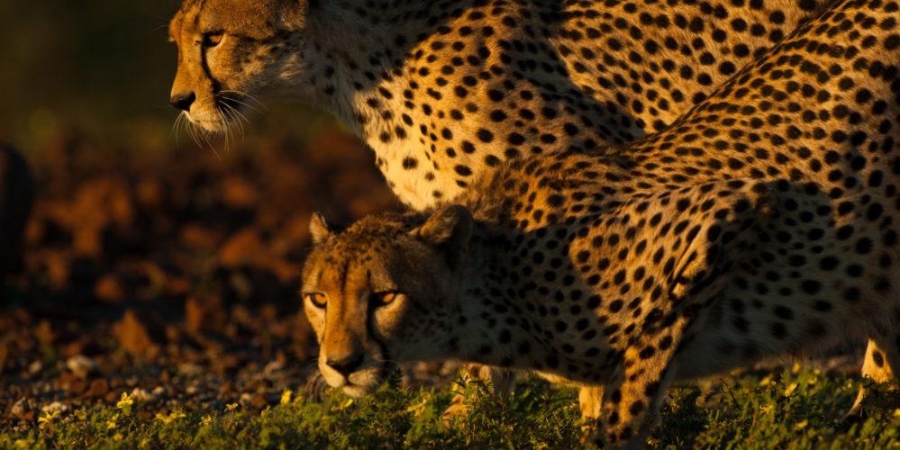 Ecotraining Cheetah