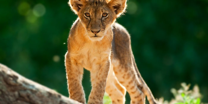 Ecotraining Lion Cub