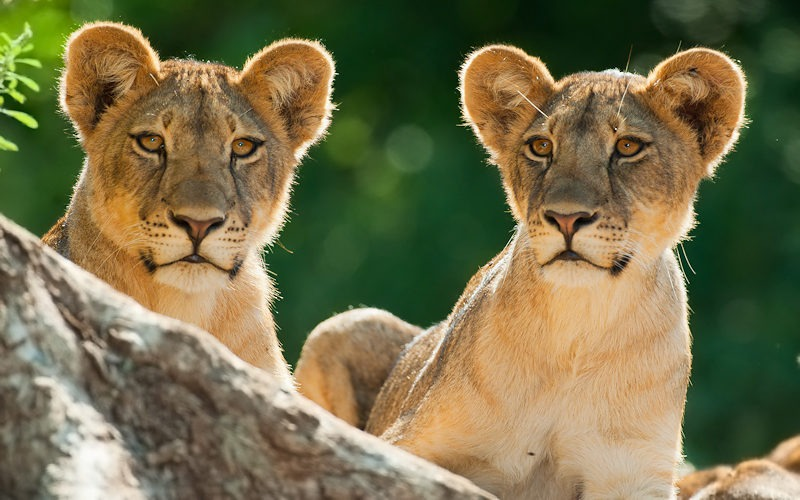 Ecotraining Lion Cubs