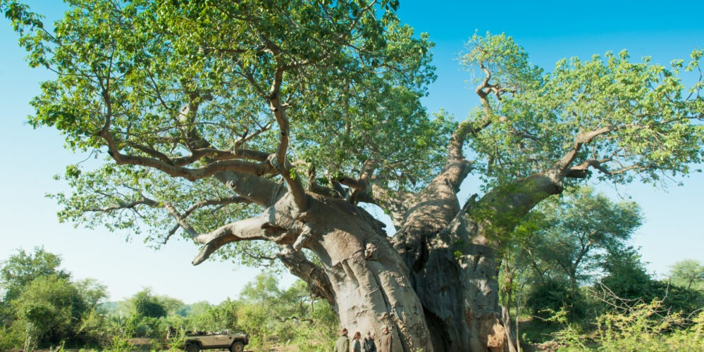 Ecotraining baobab flowering