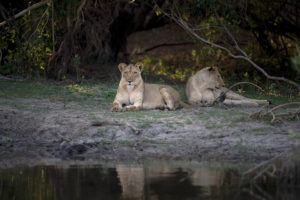Zambia Kafue Busanga mobile safari lions