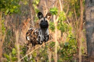 Zambia Kafue Busanga wild dogs mobile safari