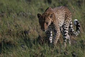 Zambia kafue busanga leopard mobile safari