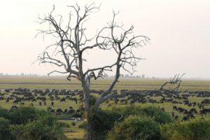 Zimbabwe buffalo herd at Chobe NP David Havemann