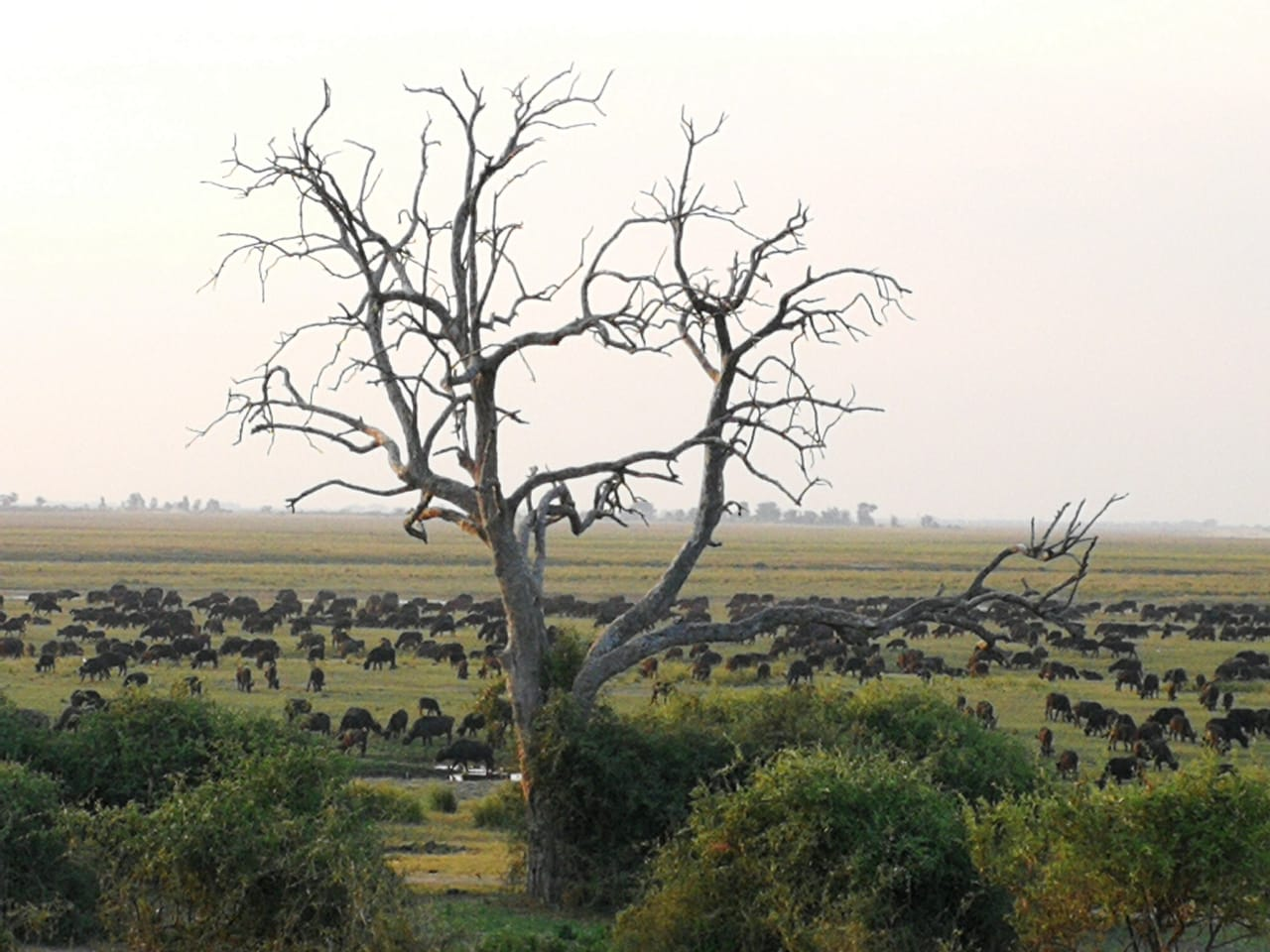 Zimbabwe buffalo herd at Chobe NP David Havemann