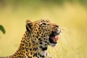 botswana safari photo leopard leopard big five