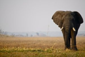 busanga elephant bull kafue zambia
