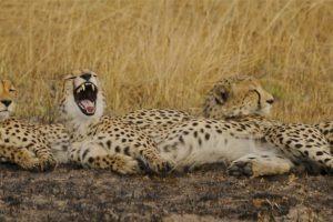 busanga plains cheetah relax