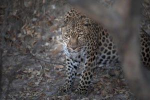 busanga plains kafue leopard zambia