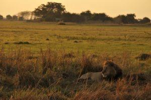busanga plains kafue lion sunrise