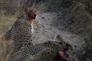 busanga plains kafue zambia cheetah feeding