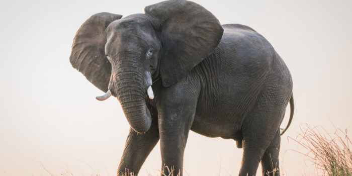 chobe elephant from boat safari