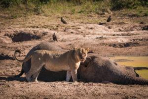 chobe lioness elephant carcass