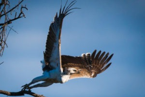 chobe martial eagle flying