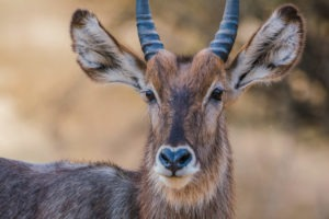 chongwe river camp waterbuck