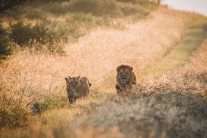 dinaka lions walking on road