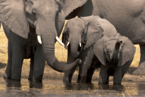 herd of elephants botswana