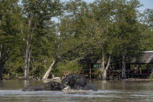 hyena pan elephants swimming