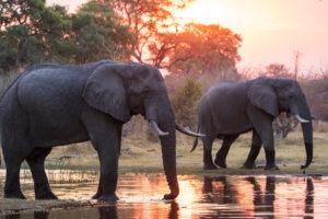 khwai elephants sunset2