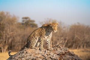 khwai leopard on tree