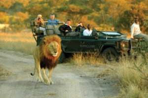 kings camp timbavati gamedrive lion