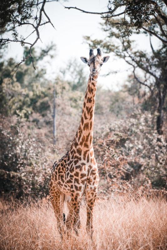 luambe camp giraffe