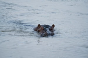 luambe camp hippo