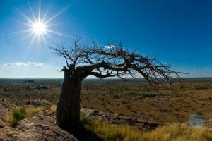 mashatu tented camp baobab