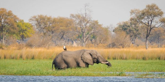 moremi fish eagle riding elephant botswana