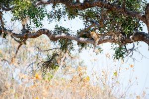 moremi leopard in tree Botswana