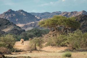 namibia photo safari Hoanib Landscape with Desert Adapted Elephant