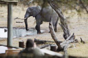 savuti safari lodge elephant