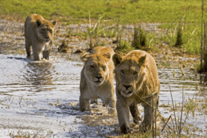 selinda spillway botswana lions crossing river
