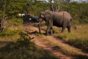 shindzela timbavati game drive elephant
