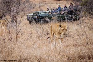 shindzela timbavati lion gamedrive