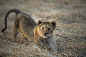 zambia kafue busanga plains lion cub mobile safari