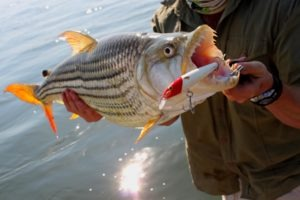 zambia upper zambezi tiger fishing large fish