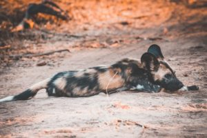 South-Africa-wild-dog-painted-wolf