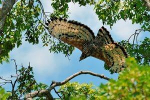 African Crowned Eagle zambia kasanka